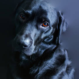 by Phil Murray - Animals - Dogs Portraits ( dogs, dog, labrador, lab )
