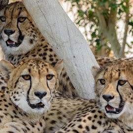 Cheetah Pride by William Sawtell - Animals Lions, Tigers & Big Cats ( cheetah family, nature, cheetah trio, cheetah cubs, wildlife )