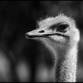 Ostrich by Dave Lipchen - Black & White Animals ( ostrich )