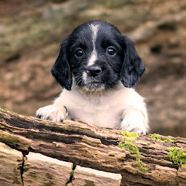 Sprocker Spaniel Puppy by Carrie McIntosh - Animals - Dogs Puppies ( spaniel, puppy, baby, cute, dog )