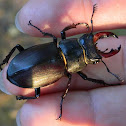 Stag beetle ♂ (ελαφοκάνθαρος)