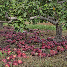 Apples Galore by Gwen Paton - Food & Drink Fruits & Vegetables ( apples on ground, fruit, connecticut, apple, fall, orchard, apples )