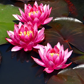 pink water lilies ... by Dubravka Bednaršek - Flowers Flowers in the Wild (  )
