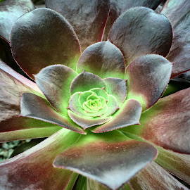 succulent by Janette Ho - Nature Up Close Other plants