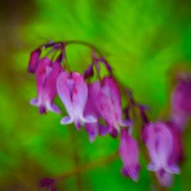 Bleeding Hearts in Pink by Debbie Squier-Bernst - Flowers Flower Buds