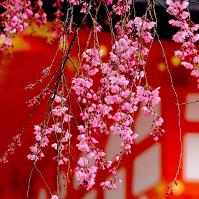 Sakura by Roni Terisno - Novices Only Flowers & Plants