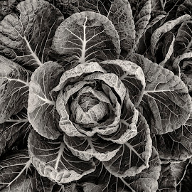 Brussel Sprout Plant  by Jim Downey - Black & White Flowers & Plants ( sprout farm, brussel sprout, black & white, leaves, veins )