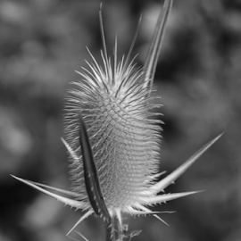 Thistle In The Woods B&W by Maureen McDonald - Black & White Flowers & Plants ( july 2016, hueston woods ohio, thistle b&w, summer 2016, camping trip )