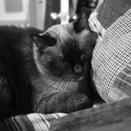 by Randi Landers - Animals - Cats Portraits