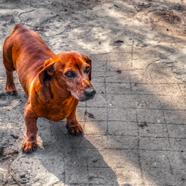 Little brown dog on street by Roberto Sorin - Animals - Dogs Portraits ( small, happy, pup, domestic, white, beagle, friend, doggy, abandoned, hunting, lonely, pet, stray, brown, puppy, background, outside, animal, looking, pedigreed, dog, adorable, little, city, young, cute, alone, mammal, grass, street, walking, sad, funny, meadow, park, nose, lovely, green, nature, purebred, one, homeless, canine, portrait, breed, outdoor, pedigree, face, urban, sitting,  )