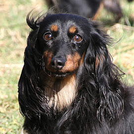 Annie by Chrissie Barrow - Animals - Dogs Portraits ( female, dachshund (miniature long haired), pet, ears, fur, brown, dog, nose, tan, black, portrait, eyes )