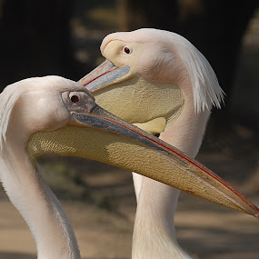 by Rajesh Dhungana - Animals Birds (  )