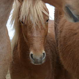 protected pony by Char Robertson - Animals Horses ( pony, beautiful, horse, adorable, brown )
