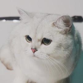 Snowhite by Sámuel Zalányi - Animals - Cats Portraits ( wcf, cat, temesvár, bánát, white, blue eyes, timisoara )