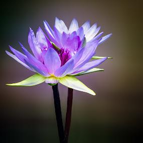 Waterlily Twins by Joan Sharp - Flowers Flower Gardens ( purple, aquatic flowers, stems reaching from water, flowers, twins,  )