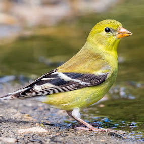 Goldfinch by Carl Albro - Animals Birds ( bird, american goldfinch, finches, puddle, portrait )