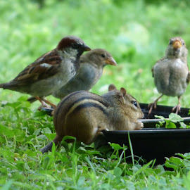 Sparrows and a Chipmunk from Harding Twp N J by Jen Henderson - Animals Birds (  )