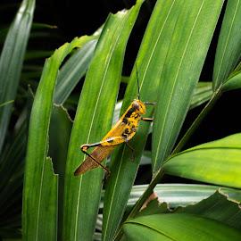 by Sam Swindells - Uncategorized All Uncategorized ( grasshopper, insect )