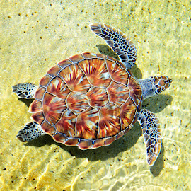 Turtle by Hamish Hamilton - Animals Sea Creatures ( shell, wild, swim, pretty, turtle )