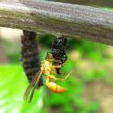 Wasp preying a chrysalis