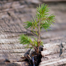 New Growth by Janet Gilmour-Baker - Nature Up Close Trees & Bushes ( macro, nature, tree, upclose, new growth, pine, deadfall )