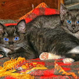 Snuggled Up by Twin Wranglers Baker - Animals - Cats Kittens (  )