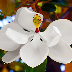 Magnolia Blossom by Derrick DeCorte - Nature Up Close Flowers - 2011-2013 ( blooming tree. white flowers, tree, magnolia. magnolia blossom, blossom )