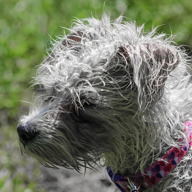 Maltese Puppy Mitzi Drying In Sun After Playing On Doggie Beach! by Maureen McDonald - Animals - Dogs Puppies ( july 2016, hueston woods ohio, maltese, beach play, puppy, maltesefirst camping trip )
