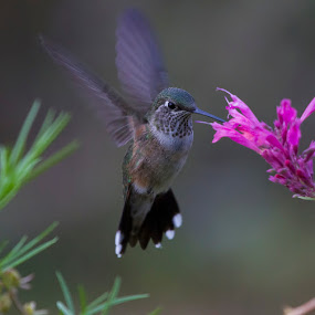 by Brandon Downing - Animals Birds ( bird, nature, broad tailed hummingbird, wildlife, flower, birding )