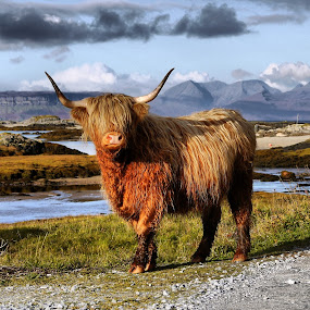 highland  cow by Paul Stevenson - Animals Other ( highland, scotland, cattle, west, coast )