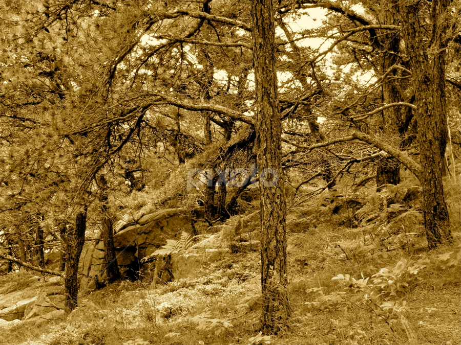 The Enchanted Forest by Becky Swatski - Landscapes Forests ( evergreens, sepia, pwcotherworldly, forest, branches )