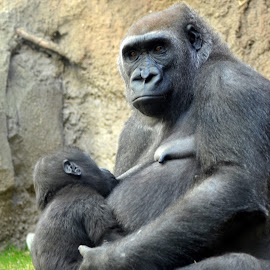 Baby with Mother Ape  by Lorraine D.  Heaney - Animals Other Mammals