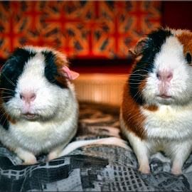 Borris and Barney by Nic Scott - Animals Other ( pet, guinea pig, animal )