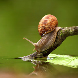 Feel thirsty by Janeta Sandutu - Animals Other ( water, nature, snail, leaves, spring )
