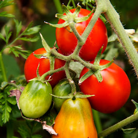 by Alice Gipson - Nature Up Close Gardens & Produce ( plum tomatoes, alicegipsonphotographs, pwcvegetablegarden-dq, red tomatoes, tomatoes, red, green )