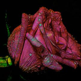 Abstract Rose by Dave Walters - Digital Art Abstract ( pink rose, topaz studio and topaz clarity, nature, lumix fz2500, colors, digital art )
