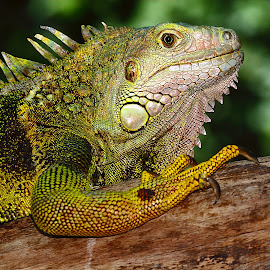 Green iguana by Gérard CHATENET - Animals Reptiles