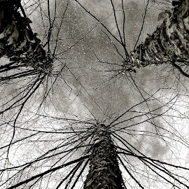 Birch Tree from below by Dawn Friend - Black & White Flowers & Plants ( birch, perspective, black and white, trees,  )