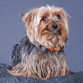 Smiler by Phil Anderson - Animals - Dogs Portraits ( fujifilm, gfx, dog, profoto, portrait )