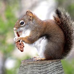 Squirrel by Dustin Wawryk - Animals Other Mammals