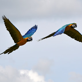 by Becky Wheller - Animals Birds ( bird, clouds, flying, wings, parrot, animal )