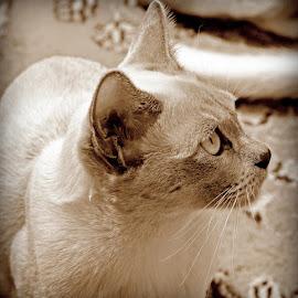 Mathilda by Caroline Beaumont - Animals - Cats Portraits ( sepia, kitten, cat, brown, burmese )