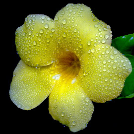 Alamanda  by Asif Bora - Instagram & Mobile Other (  )
