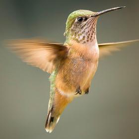 Hummingbird _.jpg