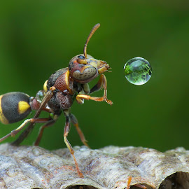 Wasp 170223 by Carrot Lim - Animals Insects & Spiders ( reflection, macro, wasp, water bubble, colors )