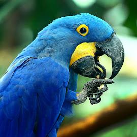 Bleu by Gérard CHATENET - Animals Birds
