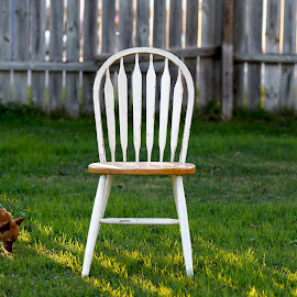 The Search is On by Rob Heber - Animals - Dogs Playing ( natural light, yard, cute, weathered, shallow depth of field, nature, seat, no people, dog wearing clothes, sniffing, backyard, dog outfit, golden hour, animal, ideas, grass, low angle, still llife, concepts, mammal, canine, pet portrait, fence, chair, pattern, wooden chair, pet, outdoors, wooden fence, adorable, puppy, chihuahua, dog, conceptual, design, growth, dog clothing, green grass )