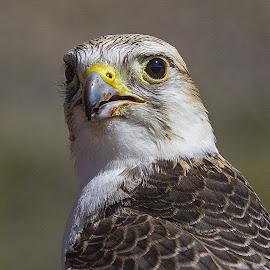 Falcon by Lee Molof - Animals Birds