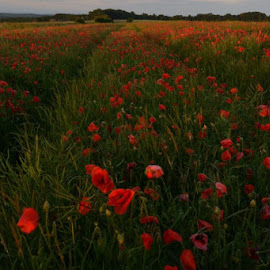 Poppy field in the morning by Susannah Ross - Landscapes Prairies, Meadows & Fields