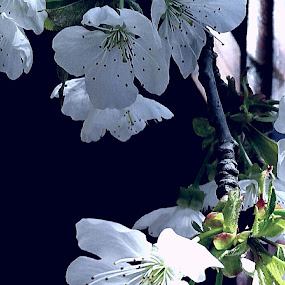 Flowers  of cherry tree by Nat Bolfan-Stosic - Flowers Flower Gardens ( spring, cherry, flowers, white, tree )